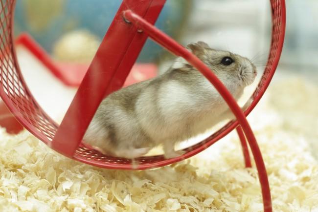 hamster_hamsterrad_shutterstock_52052221