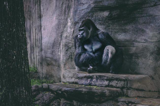 Gorilla sitzt an einer Steinwand