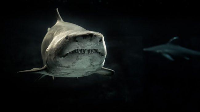 Weißer Hai in dunklem Wasser